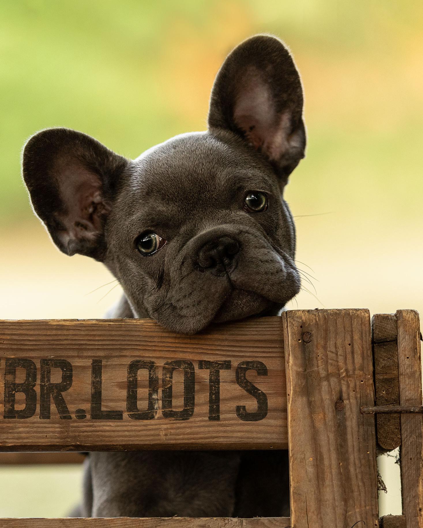 Puppy Fotoshoot Portret Franse Buldog pup