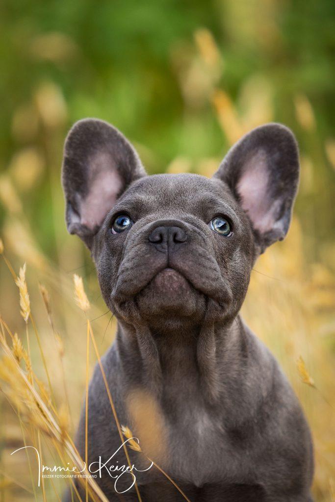 puppy fotoshoot Franse Buldog