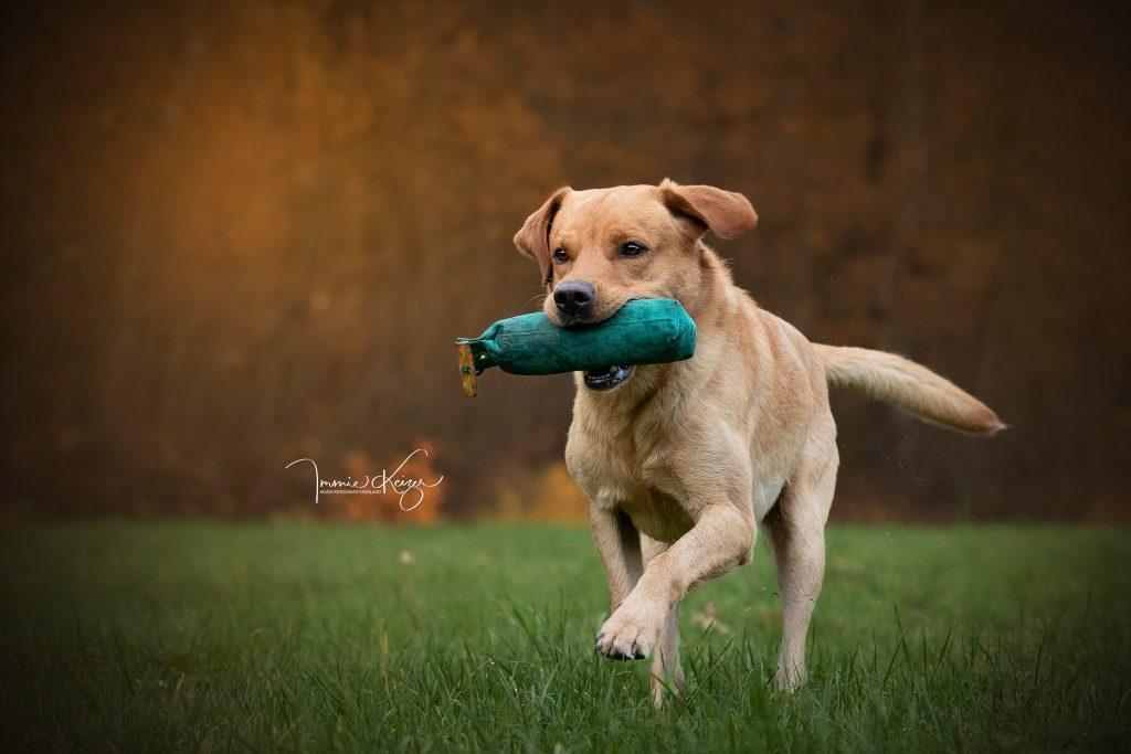 Apporterende Labrador