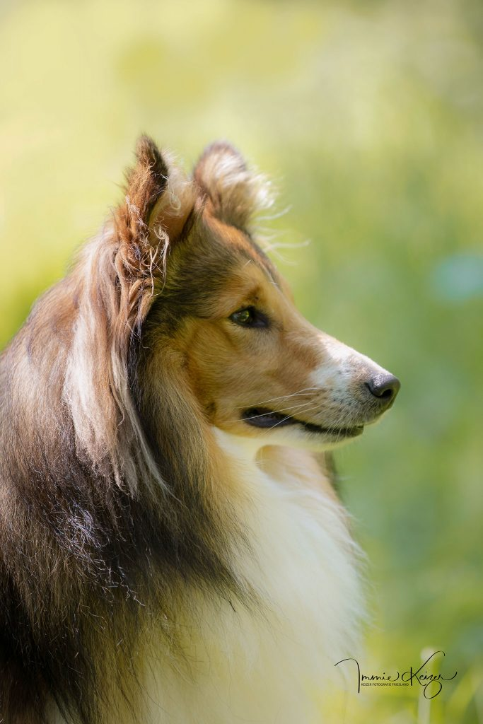 hondenportret Shelty