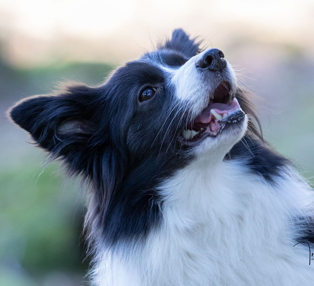 portret fotoshoot hond bordercolly