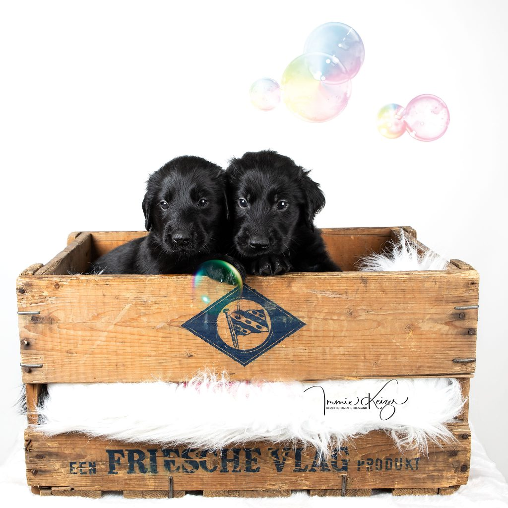 twee flatcoat puppies in een kistje