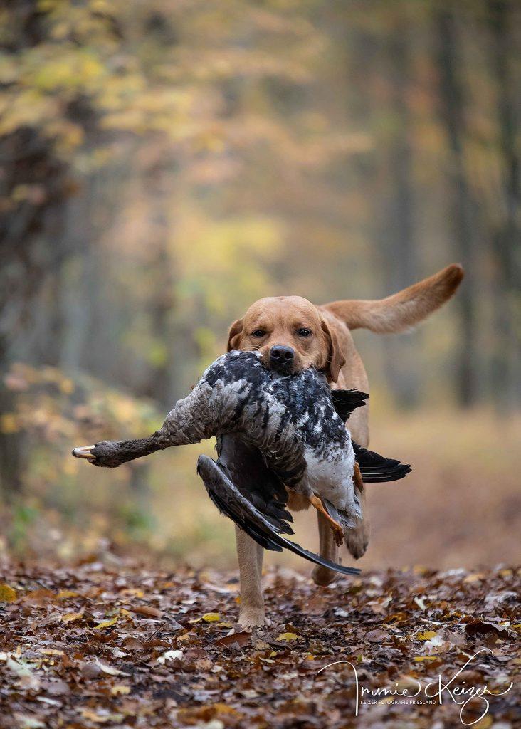 Labrador met ganzen apport