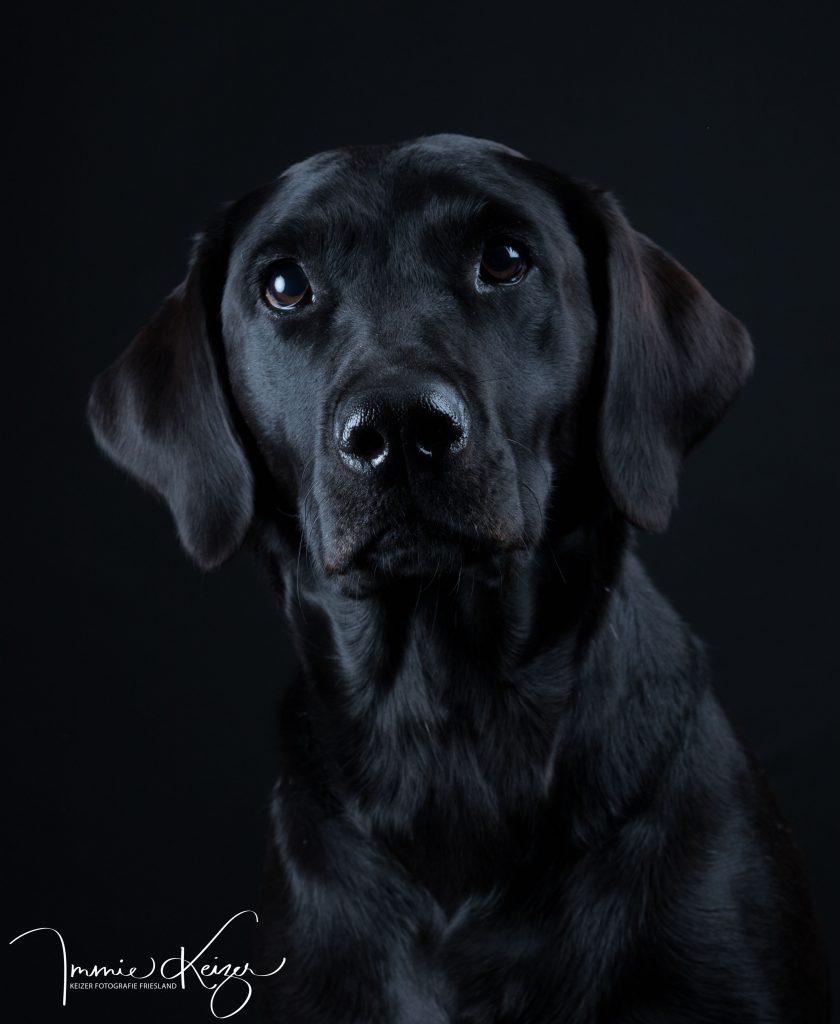 labradorpup-hondenfotoshoot