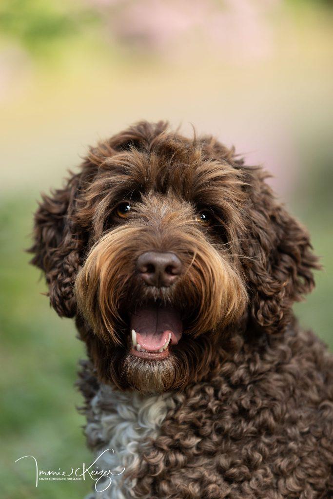 VIP-Dog-juni-Australian-Labradoodle-Sam
