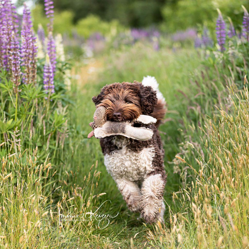 Hondenfotoshoot-Australian-labradoodle-sam-keizerfotografie